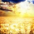 fields-white-for-harvest-john-4-35-jesus-bible-verse